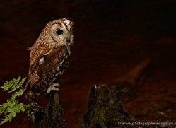 tawny-owl-4168-northumberland-copyright-photographers-on-safari-com