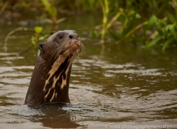 giant river otter-copyright-photographers-on-safari-com-7163