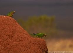golden capped parakeet-copyright-photographers-on-safari-com-7221
