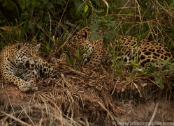 jaguar-copyright-photographers-on-safari-com-7132