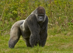 Gorilla 2014 -20copyright-photographers-on-safari-com