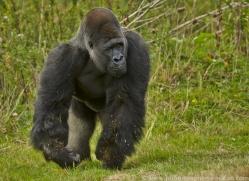 Gorilla 2014 -31copyright-photographers-on-safari-com