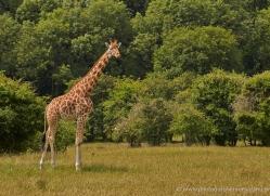 giraffe-port-lympne-2241-copyright-photographers-on-safari-com