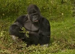 lowland-gorilla-port-lympne-2284-copyright-photographers-on-safari-com