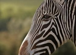 zebra-port-lympne-2216-copyright-photographers-on-safari-com