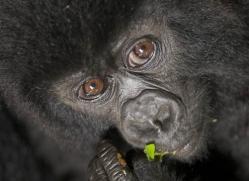 mountain-gorilla-rwanda-3104-copyright-photographers-on-safari-com