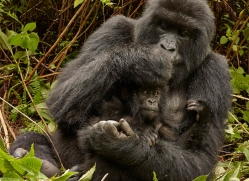 mountain-gorilla-rwanda-3152-copyright-photographers-on-safari-com