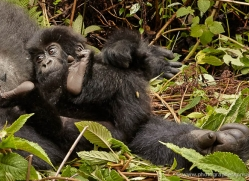 mountain-gorilla-rwanda-3159-copyright-photographers-on-safari-com