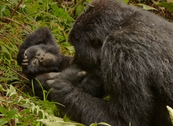 mountain-gorilla-rwanda-3168-copyright-photographers-on-safari-com