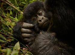 mountain-gorilla-rwanda-3189-copyright-photographers-on-safari-com