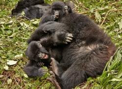 mountain-gorilla-rwanda-3214-copyright-photographers-on-safari-com