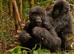 mountain-gorilla-rwanda-3231-copyright-photographers-on-safari-com
