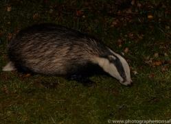 Badger 2014-1copyright-photographers-on-safari-com