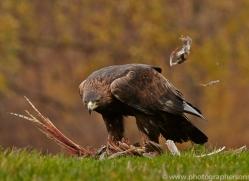 Golden Eagle 2014-3copyright-photographers-on-safari-com