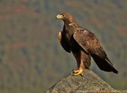 Golden Eagle 2014-4copyright-photographers-on-safari-com