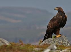 Golden Eagle 2014-5copyright-photographers-on-safari-com