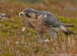 Peregrine Falcon 2014-11copyright-photographers-on-safari-com