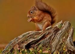 Red Squirrel 2014-3copyright-photographers-on-safari-com