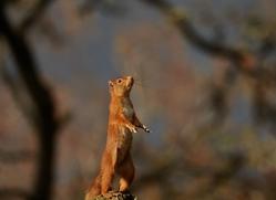 Red Squirrel 2014-4copyright-photographers-on-safari-com