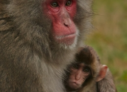 Snow Monkey 2014-3copyright-photographers-on-safari-com