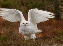 Snowy Owl 2014-18copyright-photographers-on-safari-com