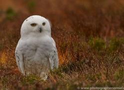 Snowy Owl 2014-19copyright-photographers-on-safari-com