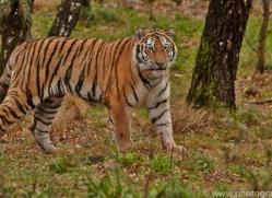 Tiger 2014-51copyright-photographers-on-safari-com