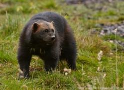 Wolverine 2014-11copyright-photographers-on-safari-com