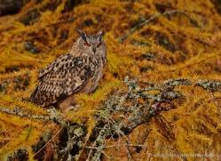 european-eagle-owl-774-scotland-copyright-photographers-on-safari-com