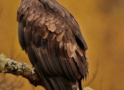 golden-eagle-848-scotland-copyright-photographers-on-safari-com