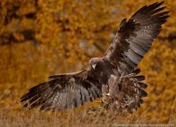 golden-eagle-859-scotland-copyright-photographers-on-safari-com