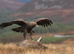 golden-eagle-867-scotland-copyright-photographers-on-safari-com