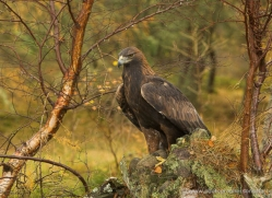 golden-eagle-872-scotland-copyright-photographers-on-safari-com