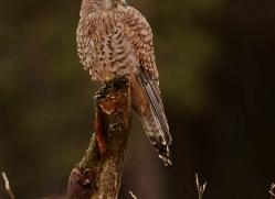 kestrel-835-scotland-copyright-photographers-on-safari-com