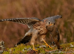 merlin-813-scotland-copyright-photographers-on-safari-com