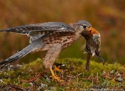 merlin-818-scotland-copyright-photographers-on-safari-com