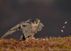 peregrine-falcon-789-scotland-copyright-photographers-on-safari-com
