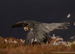 peregrine-falcon-793-scotland-copyright-photographers-on-safari-com