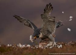 peregrine-falcon-795-scotland-copyright-photographers-on-safari-com