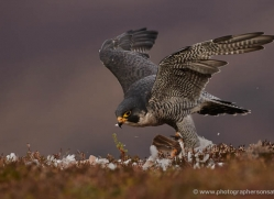 peregrine-falcon-796-scotland-copyright-photographers-on-safari-com