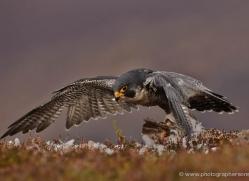 peregrine-falcon-797-scotland-copyright-photographers-on-safari-com