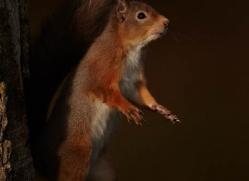red-squirrel-706-scotland-copyright-photographers-on-safari-com