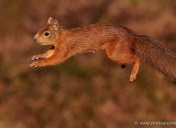 red-squirrel-710-scotland-copyright-photographers-on-safari-com