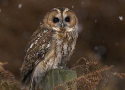 tawny-owl841-scotland-copyright-photographers-on-safari-com