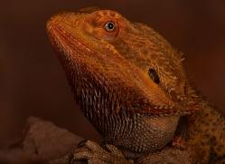 Bearded-Dragon-copyright-photographers-on-safari-com-6118