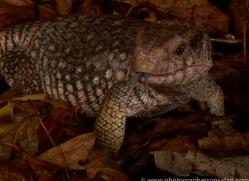 Bosc-Monitor-Lizard-copyright-photographers-on-safari-com-6123