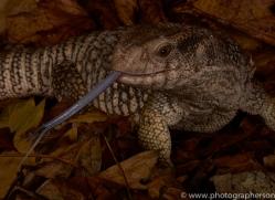 Bosc-Monitor-Lizard-copyright-photographers-on-safari-com-6124