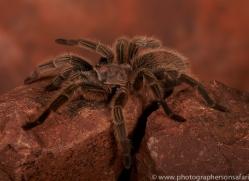 Chilean-Rose-Tarantula-copyright-photographers-on-safari-com-6133