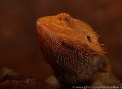 Bearded-Dragon-copyright-photographers-on-safari-com-6119