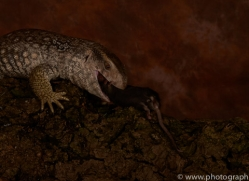 Bosc-Monitor-Lizard-copyright-photographers-on-safari-com-6126